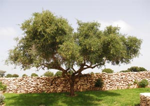 Argan tree in the Haha territory