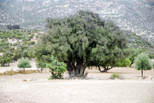Old Argan tree