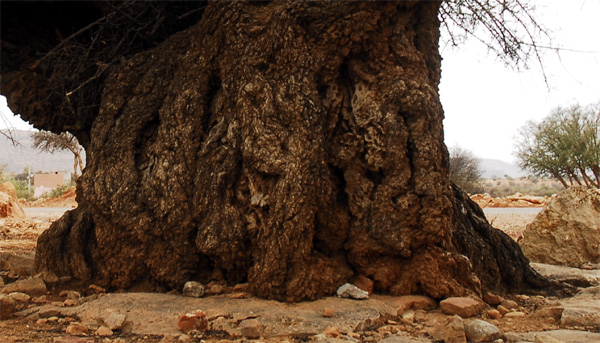 Stem of old big Argan tree