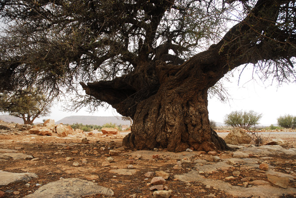 Big Argan tree