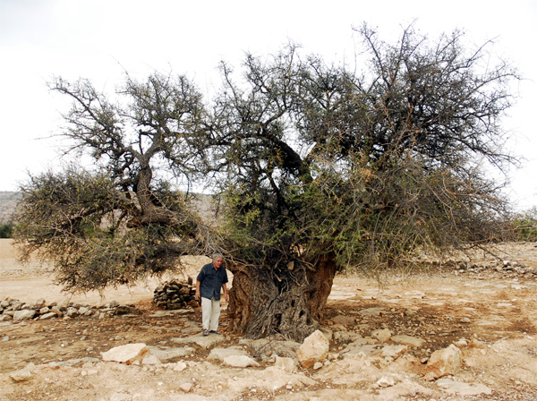 The old Argan tree in Ait Daoud