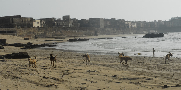 Pack of dogs living  at the ramparts of the Medina