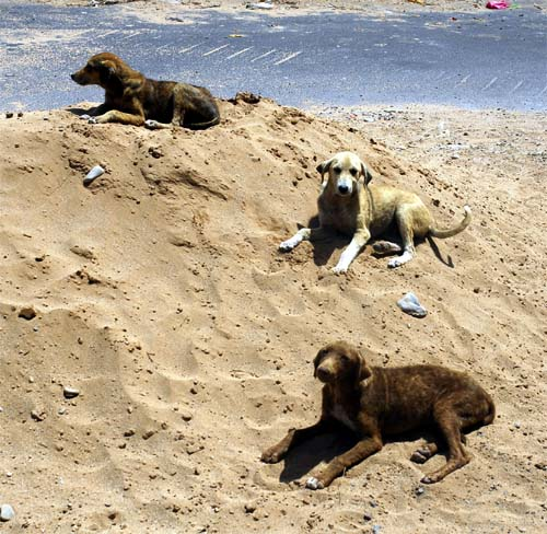 Young dogs resting in the sand