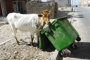 Cow and garbage container
