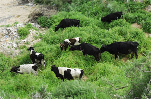 Cattle grazing in the Duneforest