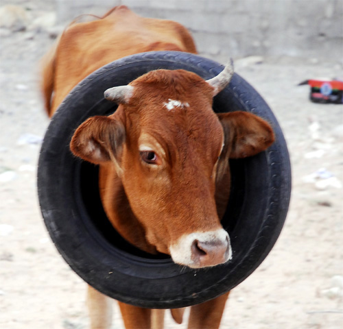 Cow with automobile tire