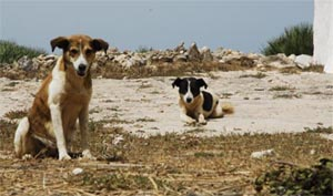 Dogs at the summit of Djebel Hadid  - Sidi Yakoub