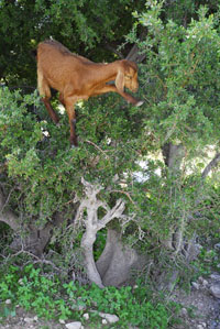 A goat in argan tree