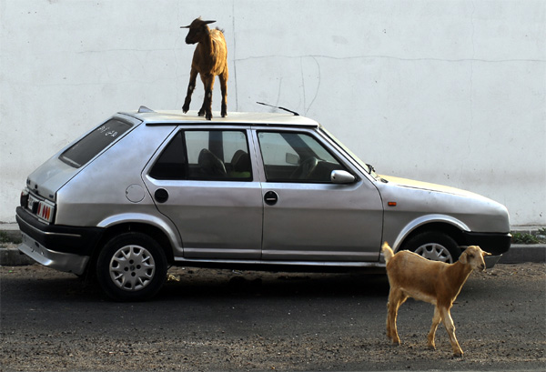 Goat on a car in Bouhaira