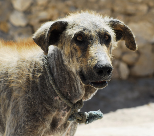 A grey dog in Sidi Kauki