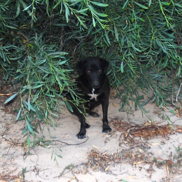 Shy afraid black dog hides in the bushes