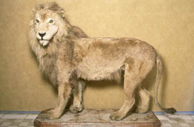 The Atlas Lion