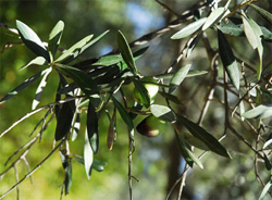 Read about olives