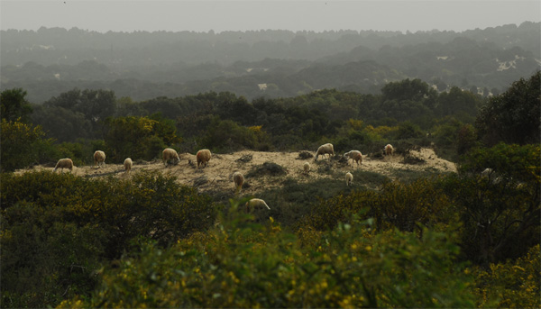 Sheep in the duneforest