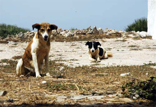 Dogs at the summit of Djebel Hadid  - Sidi Yacoub